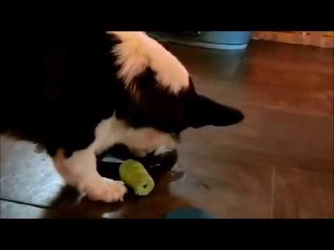 Corgi Playtime