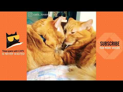 Cute 😍 cat couple videos what's app status