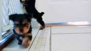 Puppies For Sale - Snickers / Prince / Koby / Fritz - Yorkies