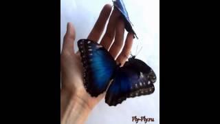 Живые тропические бабочки: три бабочки морфо на руке