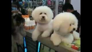 Dogs - Bichon Frise Ignoring Champion Schnauzer