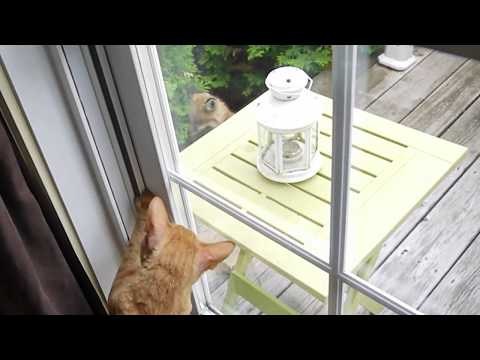Cornish Rex Cat VS Fox