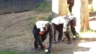 Chimp Chat part 2 チンパンジートーク後半 12082018 ~~~~~~~~...