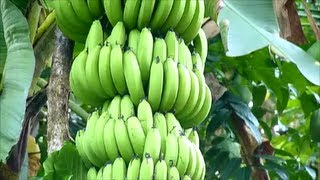 Cavendish banana plant - Chinese Banana - Pisang Serendah