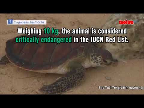 Releasing rare, endangered turtles in south central Vietnam
