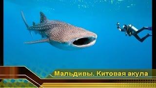 Китовая акула и любопытные дайверы. Подводный дайвинг с акулами видео. Мальдивские острова(Большая Китовая акула и любопытные дайверы. Подводный дайвинг с акулами видео. Дайвинг с акулами и отдых..., 2009-12-19T14:52:49.000Z)
