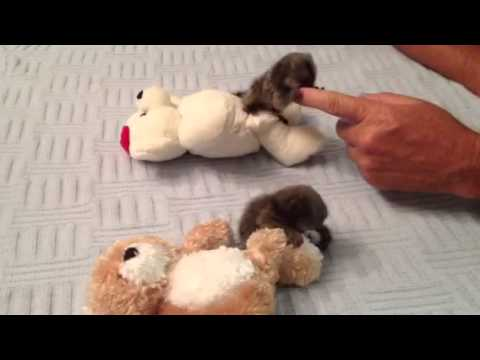 Baby Monkey Marmosets Playing