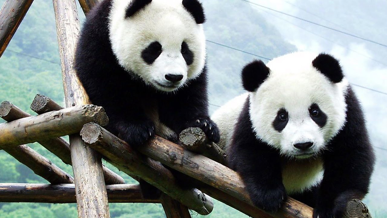 OMG!! So Cute! Baby Panda Playing - YouTube