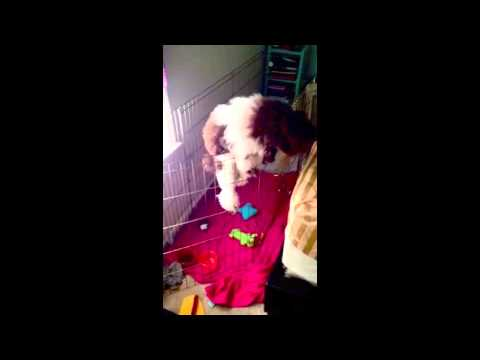 Poodle Climbing Fence and Escapes Play Pen
