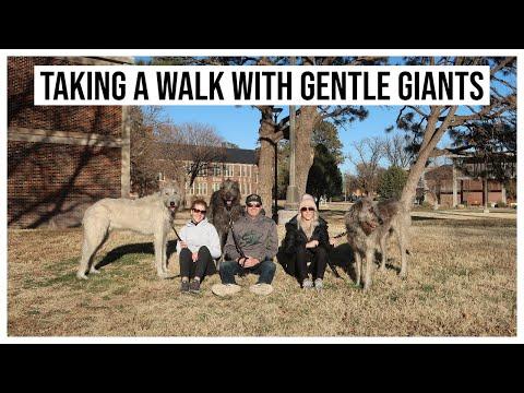 vlog-|-walking-gentle-giants-aka-my-sister's-irish-wolfhounds