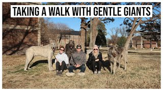 VLOG | WALKING GENTLE GIANTS AKA MY SISTER'S IRISH WOLFHOUNDS
