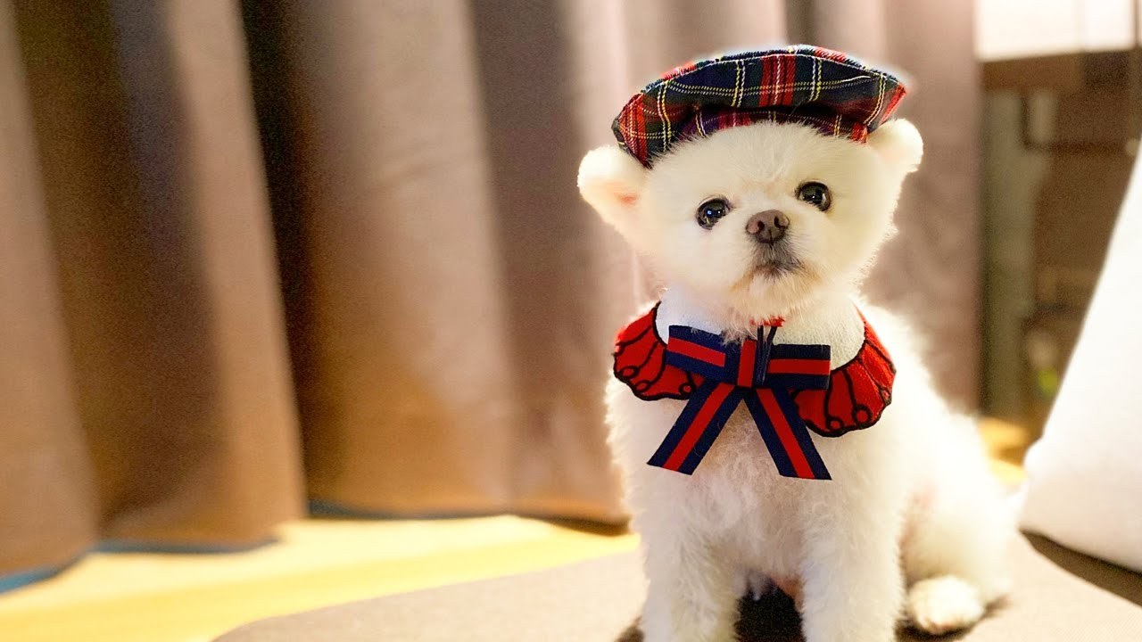 [ENG SUB] 강아지와 함께 즐기는 호캉스, 댕댕이와 호캉스 즐기기.   화이트포메라니안 지두부 Vlog