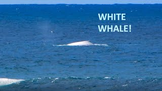 A Rare White Whale at Hastings Point, NSW, Australia thumbnail