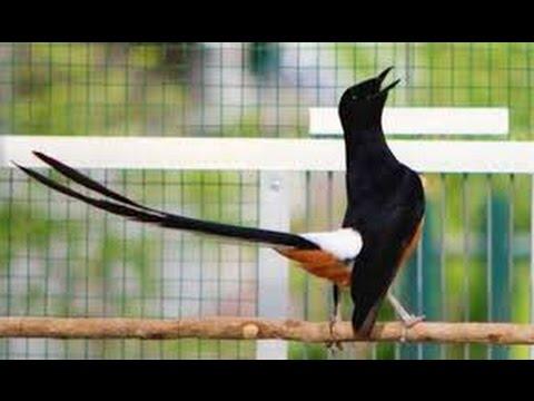5 Burung Kicau Paling Mahal Di indonesia