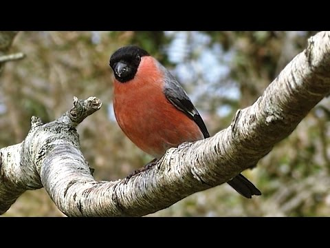 Bullfinch - Birds on The Garden Tree Branch