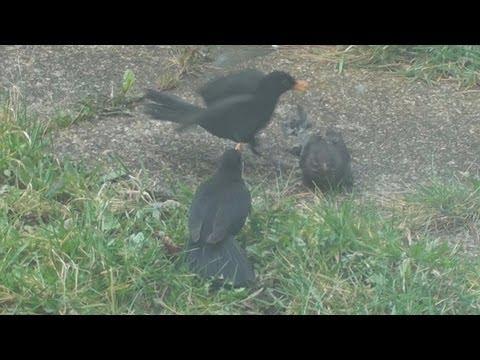 Blackbirds fighting in garden. Derby, Derbyshire, UK - February 2012
