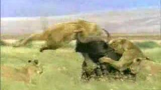 ONE Buffalo Takes on SIX Lions