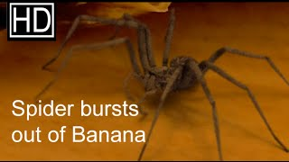 Spider bursts out of a Banana