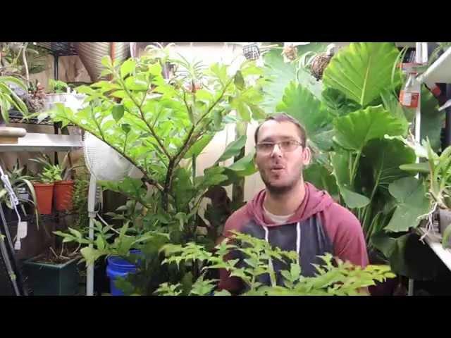 Amorphophallus konjac Update - Getting Bigger and its inside now
