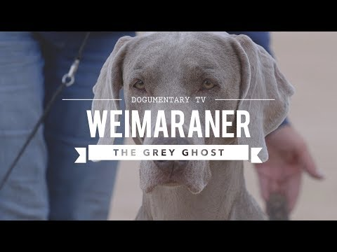 WEIMARANER BIG GAME HUNTER TO BIRD DOG