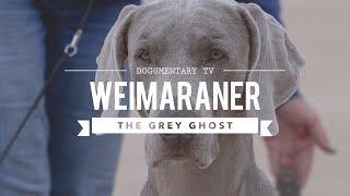 WEIMARANER BIG GAME HUNTER TO BIRD DOG