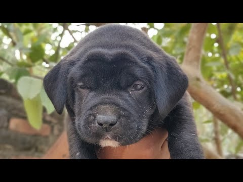 The Pit Bull Zaildaar- PITBULL puppies on sale - all about PIT BULL -8813825366  Doggyz World