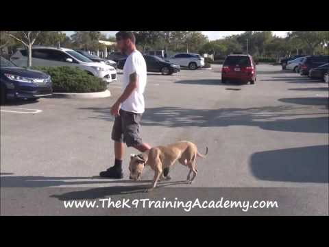 Penny with her Advance Obedience