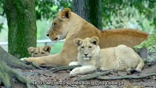 Хищники: львы, гиены, гепарды. Документальный фильм о природе 2018. СУБТИТРЫ