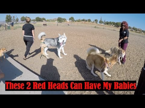 How To Socialize Your Dog Using A Dog Park, 2 Red Siberian Huskies