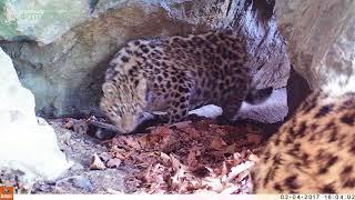 ID2625/ФГБУ Земля леопарда/Котята дальневосточного леопарда
