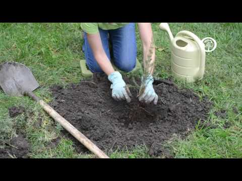 Ask an Arborist: How do I Plant Bare-root Trees?