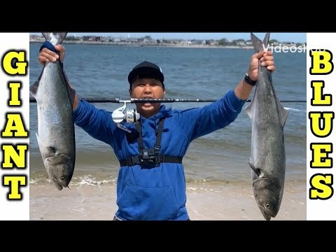 The Biggest Bluefish We Ever Caught . Long Island New York Fishing