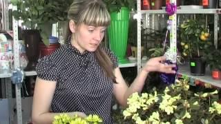 Эти цветы любят холод(Консультант цветочного магазина Т.Язова рассказывает о том, как ухаживать за комнатными цветами: азалией..., 2013-04-11T03:10:09.000Z)