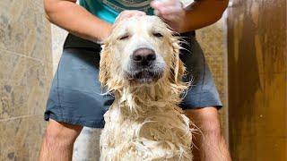 Golden Retriever Loves Bath Time!