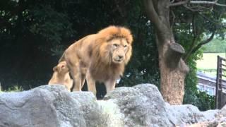 オスライオンは祖父の「なみ次郎」です。子どものライオンは孫になるわ...
