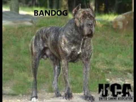 "BANDOG AND BULLYKUTTA ""THE TRUTH NOT FICTION"" - YouTube"
