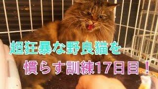 超狂暴な野良猫を慣らす訓練 17日目! 昨日はごめんな フェロモンシートでご機嫌は取れるか?