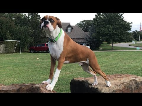 Training Boxer Samson