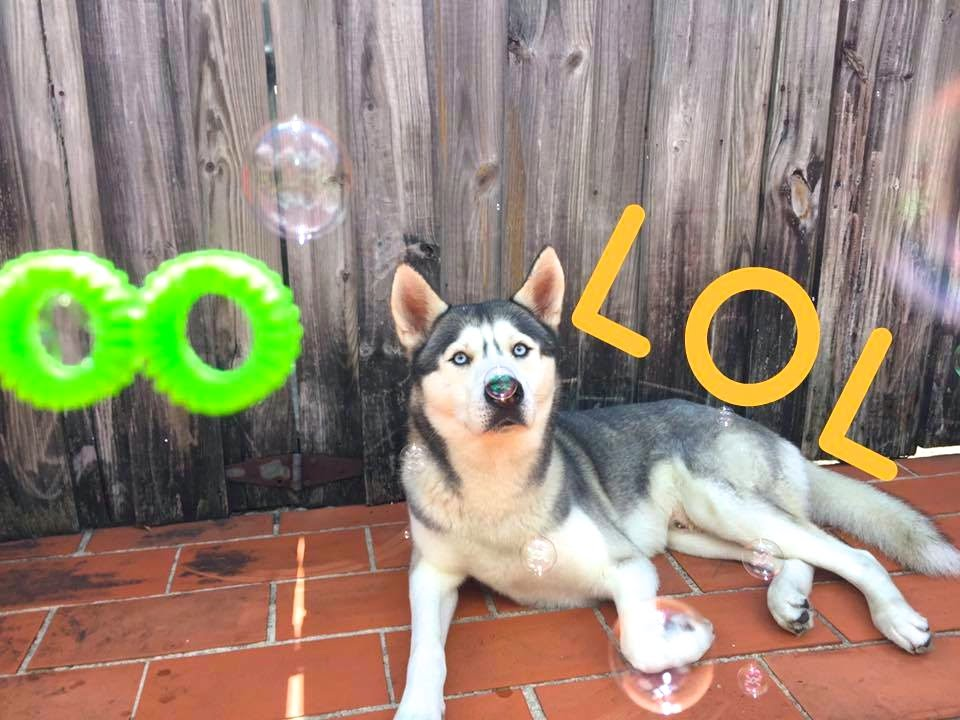 Husky and Bubbles!