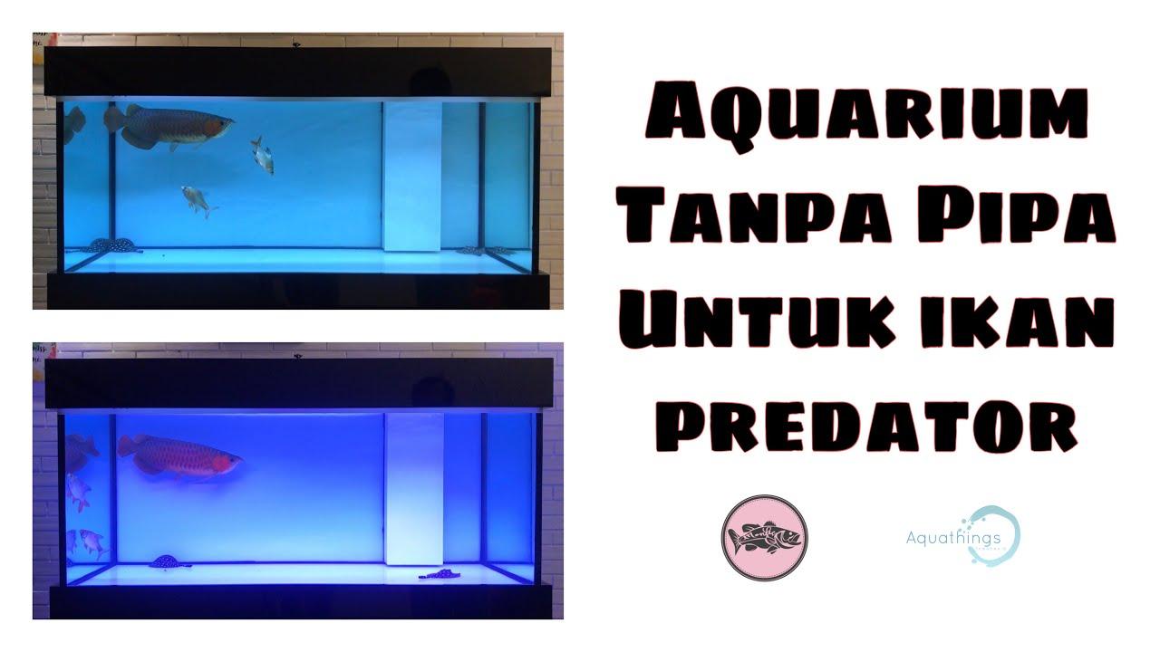 Ikan Predator Akuarium