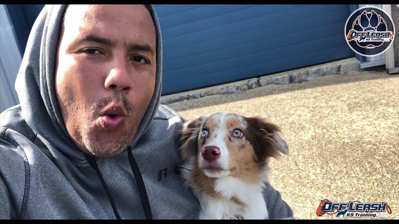 Bruno six month old miniature Australian Shepherd / nervous dog training/  Australian Shepherd VA