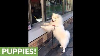 Samoyed orders ice cream and eats it