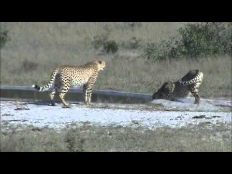 2 Cheetah Drinking At Kwaggaspan - 29 April 2012 - Kruger Sightings