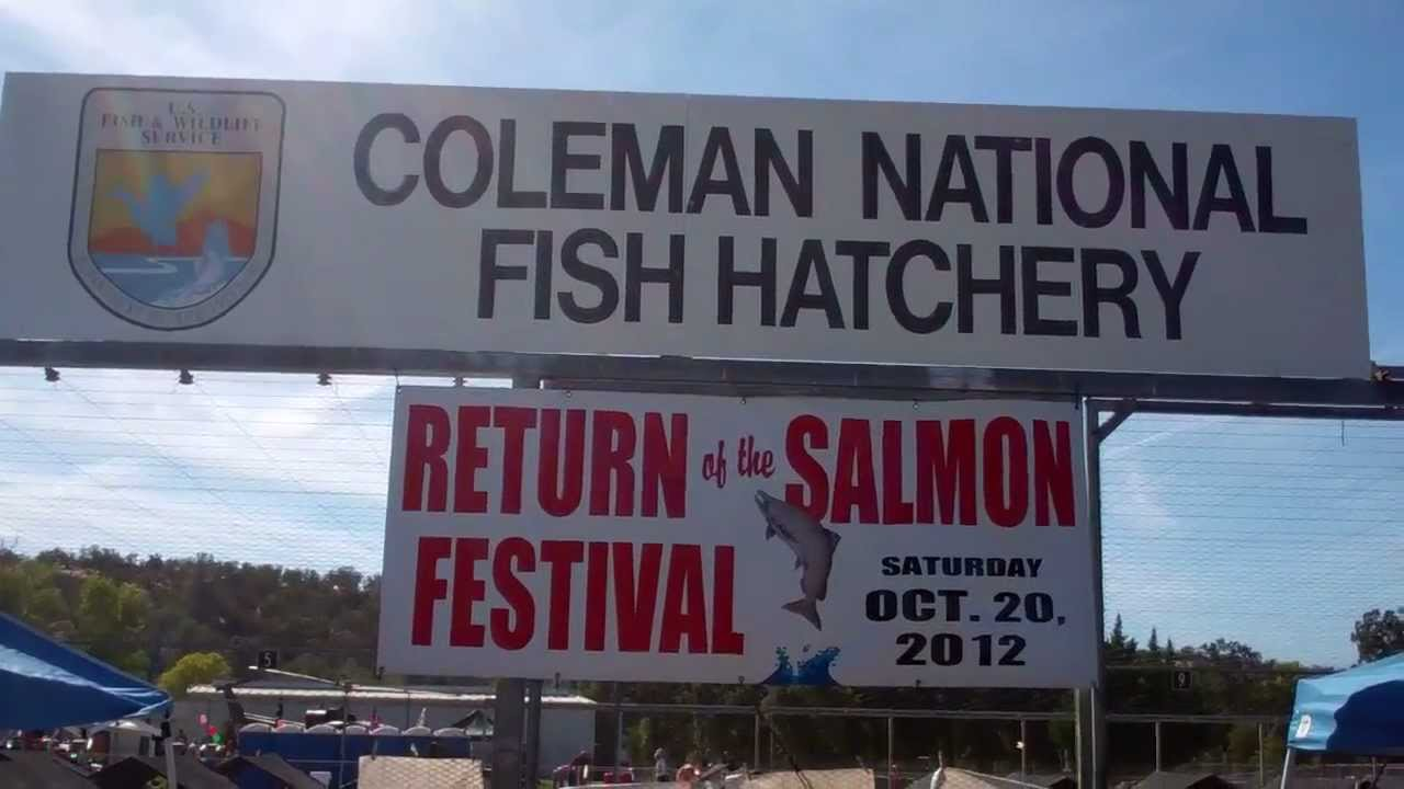 Coleman national fish hatchery and annual salmon festival for Coleman fish hatchery