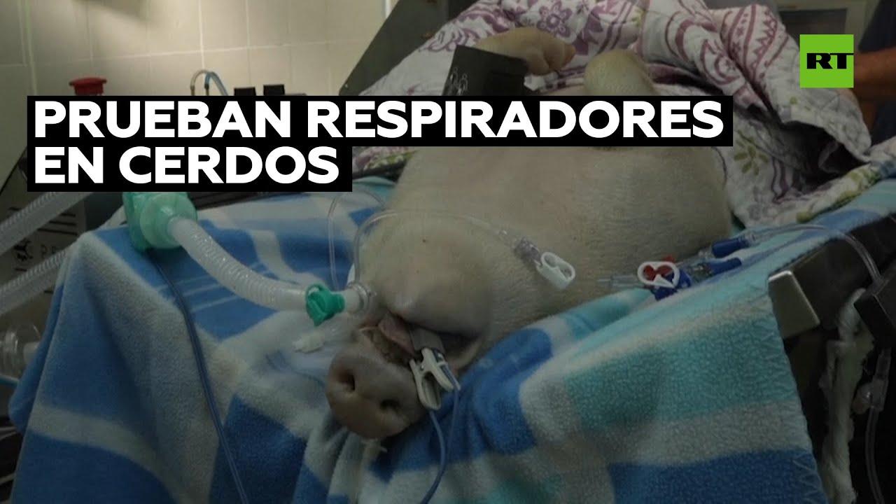Usan a cerdos para probar respiradores artificiales I RT Play