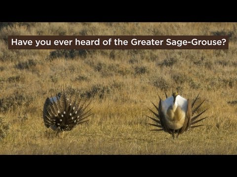 Bird of the Day: Greater Sage Grouse