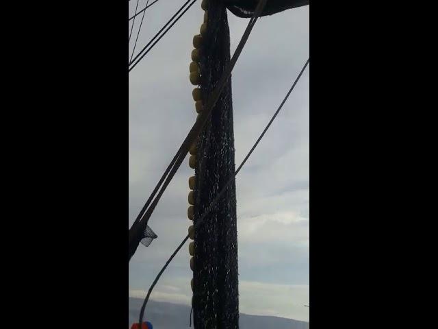 Anchoveta peladilla obliga suspensión de pesca en el sur 1