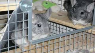 TAKING GOOD CARE OF YOUR CHINCHILLA PART 2