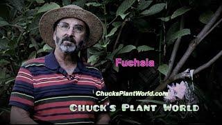 Fuchsia's planting and gardening tips from Gardner, Plant Design Specialist, Chuck Schwartz