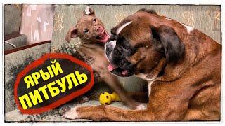 Борьба собак за игрушку ПИТБУЛЬ vs БОКСЁР